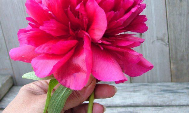 Hogyan kerül látványosan egy szál pünkösdi rózsa a vázába?